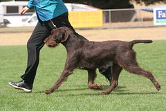 IMG_0539 (Catherine Ryan) Tags: show dog movement pointer wirehaired german vic 2009 bronte gait gwp noorat mtelephant