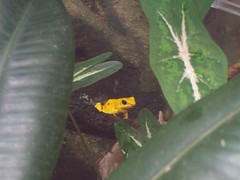Very Still (Jeevy Lost His Star) Tags: frog poisondartfrog