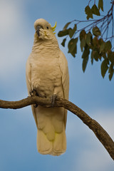 Cockatoo at 500mm (Ben D Nee) Tags: sky tree bird leaves clouds canon lens eos branch cockatoo 500mm