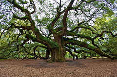 Angel Oak 2009 (joel8x) Tags: tree sc oak nikon charleston angeloak d40