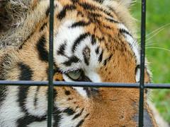 Why Am I Here? ~ Sheba (BKHagar *Kim*) Tags: carnival circus tiger tigers bigcats fz50 panasoniclumix bkhagar lewisclarkcircus