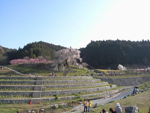 09-04-10【桜】@又兵衛桜-01