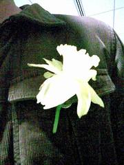 Daffodil in Transit