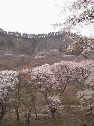 【桜】『屏風岩公苑』@曽爾村-04