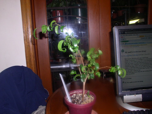 FicusWeep4-20-09