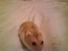 TOBY ON MY BED (ikieran97) Tags: toby hamsters