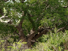 Spot The Leopard - Yala National Park