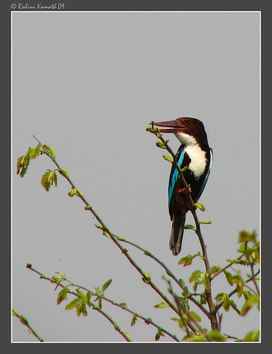 WbKingfisher_post