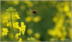 Leaving on a Jet Plane (Bram Reinders) Tags: holland nature yellow sony nederland thenetherlands natuur tamron hommel geel jetplane appingedam rapeseed koolzaad tamron90mmmacro krewerd sonyalpha350 bramreinders