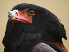 Gaukler / Bateleur (Terathopius ecaudatus) (Sexecutioner) Tags: portrait bird nature birds animal animals digital canon germany zoo colorful hessen frankfurt wildlife natur vgel 2009 bataleur vogel frankfurter bateleur potofgold gaukler frankfurterzoo bateleureagle terathopiusecaudatus zoofrankfurt  specanimal mywinners platinumphoto anawesomeshot berghaan bateleurdessavanes  lodda aguilavolatinera guilavolatinera kuglarz guiabailarina vosplusbellesphotos falcoecaudatus gglerrn falcogiocoliere gycklarrn copyrightsexecutioner theratopiusecaudatus glumakiorel  raudonskruostisgyvatdis  guilabateleur aguilavolantinera aiglebateleu bateleurqueuecourte gjglerrn klovnikotka liitokotka    kuyruksuzkartal orlkkejkli orlkkejklr klounkotkas   hadiarkrtkochvost