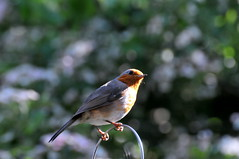 Robin, through bedroom window