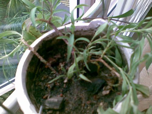 Plant pox