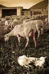 Alumbramiento (Manuel Sagredo) Tags: lamb lambs nacimiento oveja albacete ovejas rebao cordero corderos helln caadarealdelamanchaamurcia caadarealdecartagena torreuchea casadelacueva ilnica2009 manuelsagredogmailcom