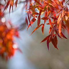 Autumn colour (HBW) (John Wheat) Tags: autumn colour leaves pentax perth photoshopelements k10d justpentax