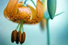 Lily (Ian Sane) Tags: park flower macro oregon canon river ian eos lily veil state mark columbia ii 5d gorge bridal sane