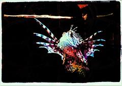 Flying in Water (zenseas working) Tags: abstract art print lionfish seattleaquarium