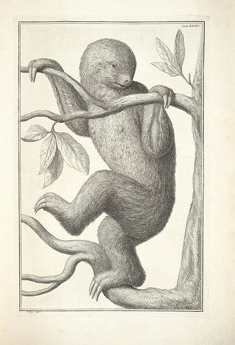 engraving of a sloth (wunderkammer)