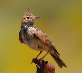 Cotovia-de-poupa / Crested lark