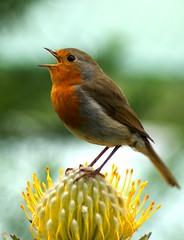 Singing Robin (VictoriaAnn: