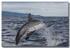 Stenella frontalis (PedroMadruga) Tags: ocean sea wild mammal dolphin wildlife pico d200 azores açores golfinho cetaceo cetacean pintado openocean toninha spotteddolphin pintadinha pedromadruga southofpico toninhamansa suldopico