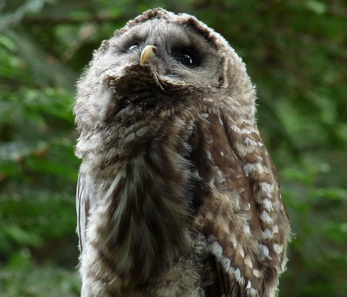 Barred Owl Chick - Seward Park Seattle