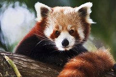 Red Panda (WilliamBullimore) Tags: nature animal fauna firefox au australia brisbane redpanda queensland naturesfinest atomicaward