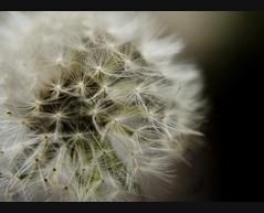 Starswipe (Bs0u10e0) Tags: flower macro closeup bokeh dandelion wildflower nikon50mmf18 diopter10 nikond80