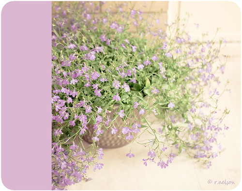 flower macro beautiful lavender naturallight pot lobelia colorblock coffeeshopactions canon5dmarkii