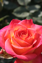 与野公園バラ祭り2010