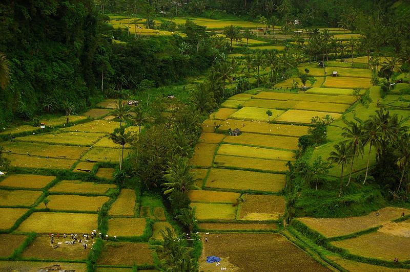 _Bali_rice_field_1_