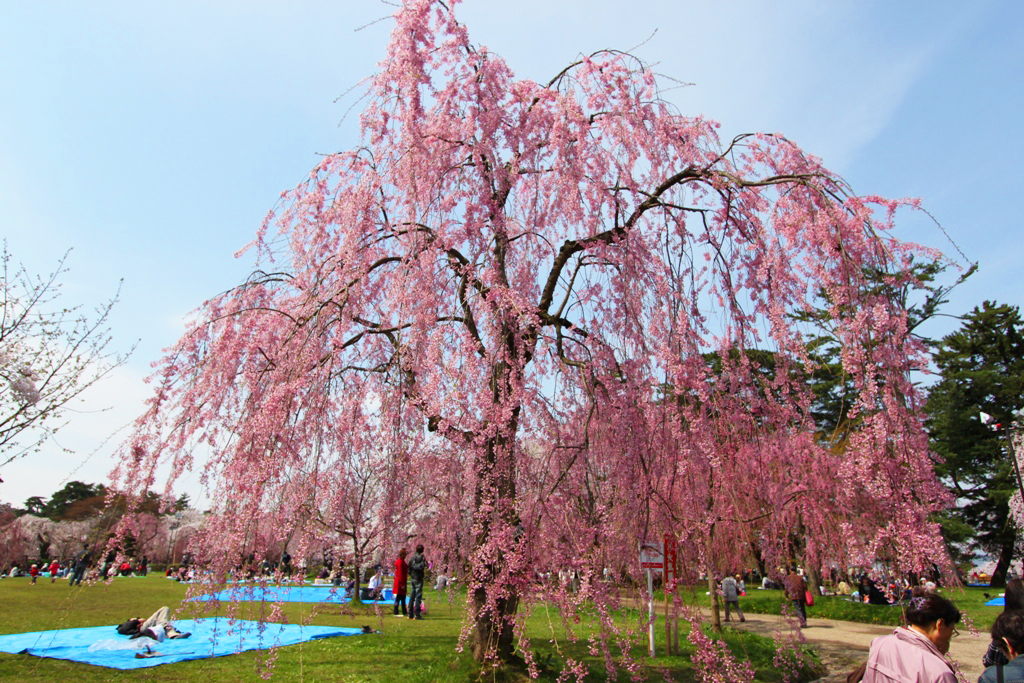 Hirosaki Park Sakura (18)