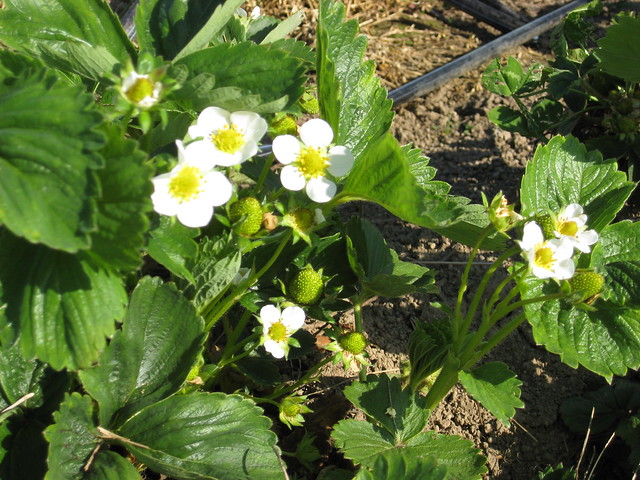 Strawberries Starting to Grow