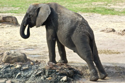Baby elephant stretching