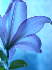 Sunday Morning .  .  . (Stellina.m  (...illness)) Tags: morning blue light flower soft lily petal translucence naturesfinest supershot mywinners anawesomeshot theperfectphotographer goldstaraward wonderfulworldofflowers anuniverseofflowers