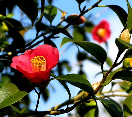 the lady of the camellias ...