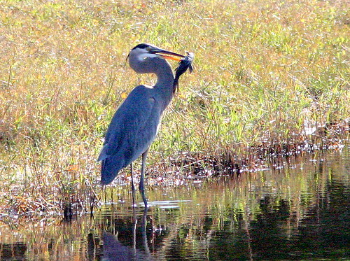 Great Blue Heron with Fish 20080111