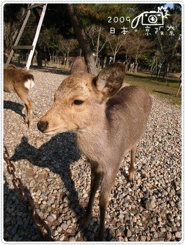 奈良的鹿 (13)