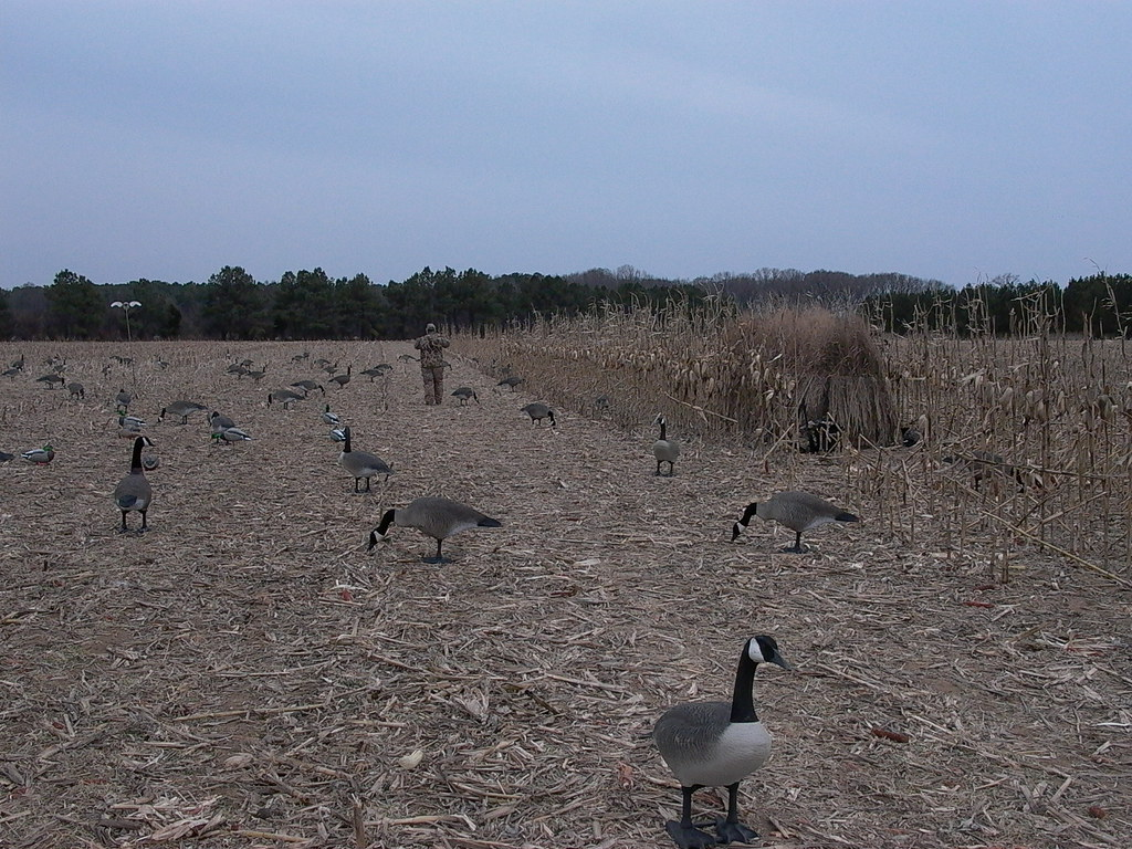 full body geese decoys a dozen full body duck decoys and a spinning wing duck decoy out in the corn field this delmarva standard a frame blind is