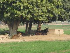 rustic punjab (tango 48) Tags: trees pakistan green rural cows wheat rustic horns mango punjab wheelbarrow