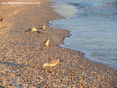 IMG_0204-Ring-billed-gulls-feasting