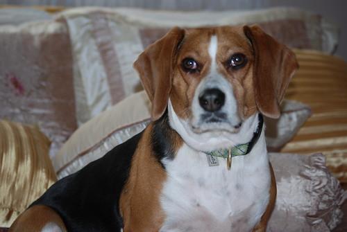 {26/365} Best Beagle