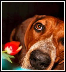 flowers chien cão dogs cane puppies flor perro hund cachorro tulip daisy bluetickcoonhound rescuedog richbrown kindsoul youthfulexuberance