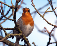 Robin (Andrew Haynes Wildlife Images) Tags: best creatures flickrs topshots brandonmarsh natureselegantshots panoramafotogrfico