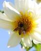 Bee on White Flower (Sudhamshu) Tags: blue orange white flower macro nature garden petals wings curls insects bee explore honeybee gujarat justcropped ajwa