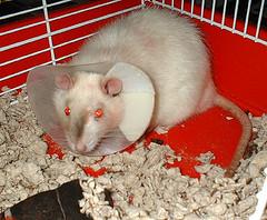 rat cone