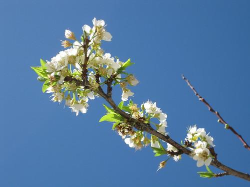 少數僅存的梅花