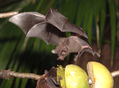 Seba's Fruit-eating Bat