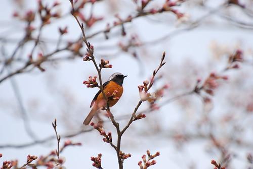 桜とジョウビタキ