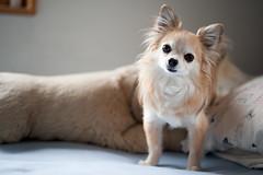 [フリー画像] 動物, 哺乳類, イヌ科, 犬・イヌ, チワワ, 201005111700