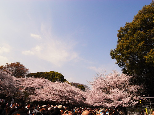 A cherry tree of Ueno